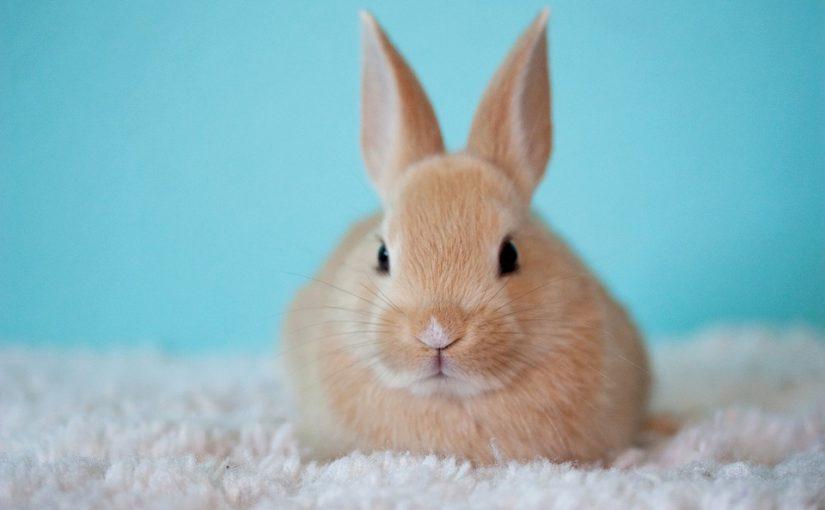 Waar koop je een konijn